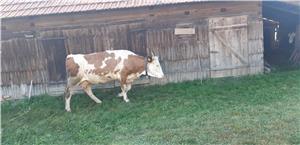 Vand vaca rasa Baltata Romaneasca  - imagine 4