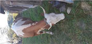Vand vaca rasa Baltata Romaneasca  - imagine 3