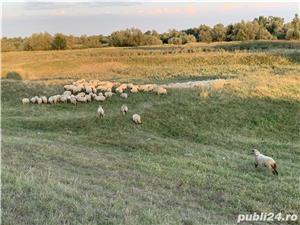 Vând turma de oi  - imagine 2
