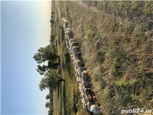 Vând turma de oi  - imagine 3