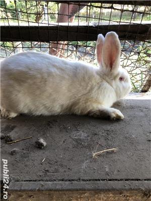 Vand iepurita  - imagine 2