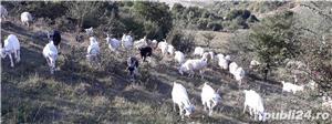 vând 200 capre metis sannen - imagine 1