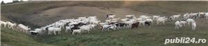 vând 200 capre metis sannen - imagine 2