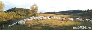 vând 200 capre metis sannen - imagine 4