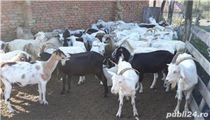 vând 200 capre metis sannen - imagine 3