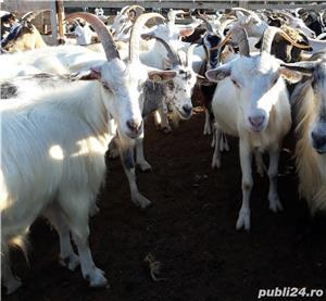 vând 200 capre metis sannen - imagine 6