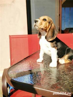 Beagle Mascul 10 saptamani - imagine 1