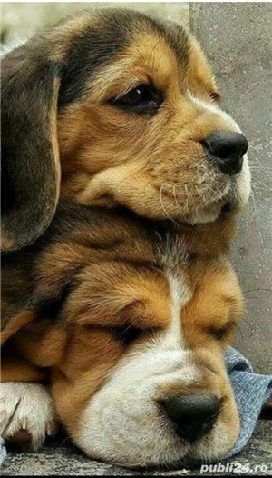 Beagle Mascul 10 saptamani - imagine 4