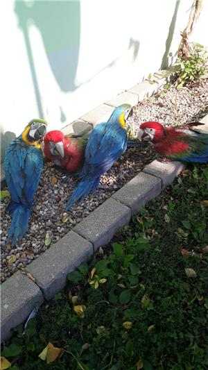 Vand papagali Ara blanzi - imagine 2