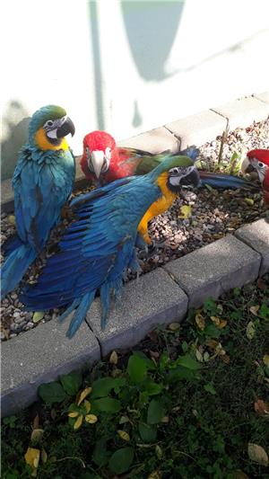 Vand papagali Ara blanzi - imagine 1
