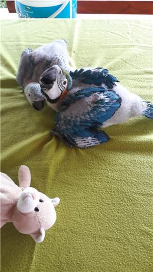 Vand papagali Ara blanzi - imagine 3