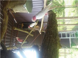 Vand papagali Ara blanzi - imagine 4