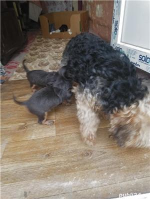 Vând pui Yorkshire terrier mini toy - imagine 2