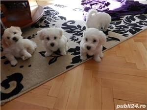 Pui de Bichon Maltez - imagine 4