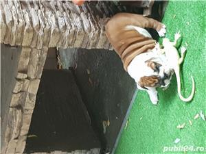Bulldog englez cu pedigree - imagine 4