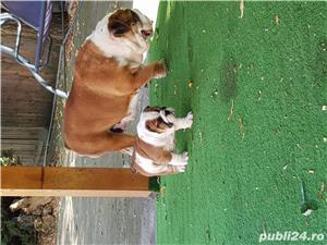 Bulldog englez cu pedigree - imagine 2