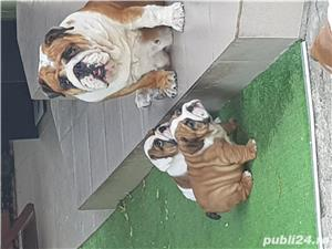 Bulldog englez cu pedigree - imagine 8