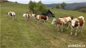 Vând vaci bălțata românească - imagine 2
