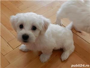 Pui de Bichon Maltez - imagine 1