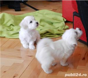 Pui de Bichon Maltez - imagine 3