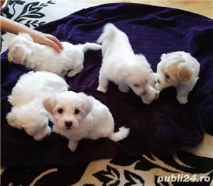 Pui de Bichon Maltez - imagine 5