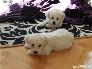 Pui de Bichon Maltez - imagine 2