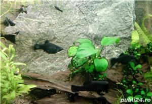 Pesti de acvariu - moly black si dalmatian - imagine 3