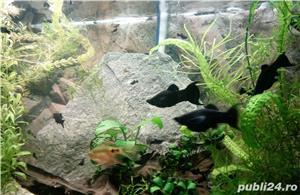 Pesti de acvariu - moly black si dalmatian - imagine 2