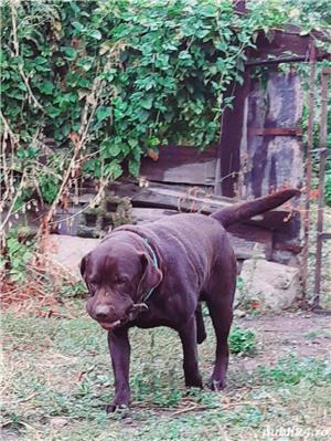 Labrador Retriever  - imagine 4