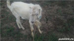 Vand capre 2 cu lapte 2 iezi si un tap se vand doar impreuna - imagine 5