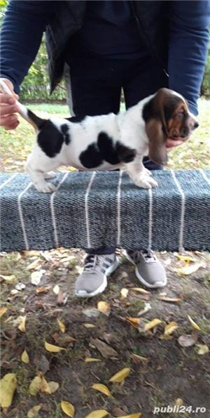 Pui basset hound!! - imagine 4