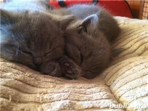 Vand pisicute British Shorthair - imagine 3