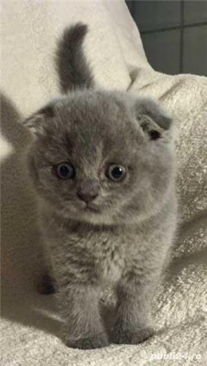 Scottish Fold - imagine 1
