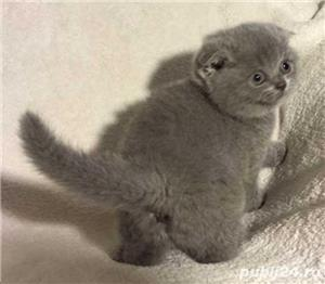 Scottish Fold - imagine 3