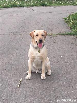 Labrador retriever - monta - imagine 1