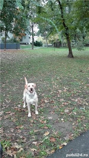 Labrador retriever - monta - imagine 2