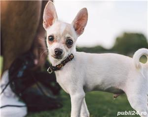 Chihuahua - imagine 2