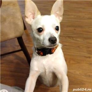Chihuahua - imagine 1