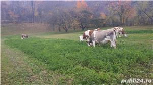 Vaci de vanzare.  - imagine 2