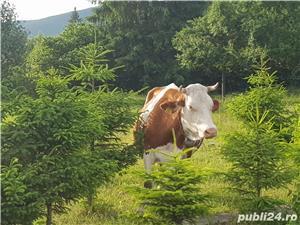 Vaci de vanzare.  - imagine 4