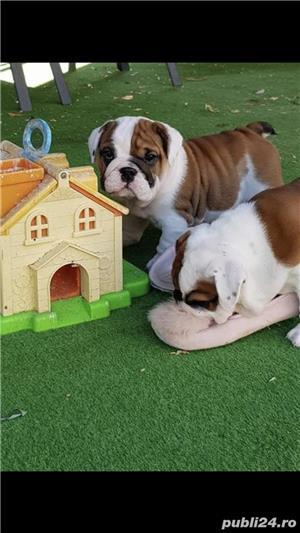 Bulldog englez cu pedigree - imagine 3