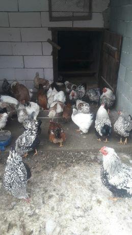 Găini de rasă  - imagine 1