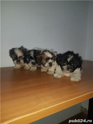 Shihtzu - imagine 5