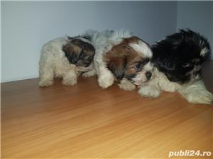 Shihtzu - imagine 3