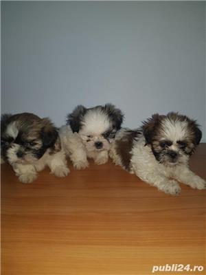 Shihtzu - imagine 2