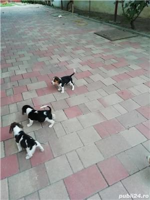 Vând căței Beagle, 2 luni, vaccinați și deparazitați  - imagine 1