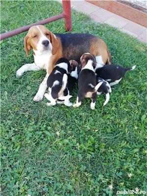 Vând căței Beagle, 2 luni, vaccinați și deparazitați  - imagine 2