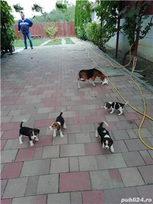 Vând căței Beagle, 2 luni, vaccinați și deparazitați  - imagine 3