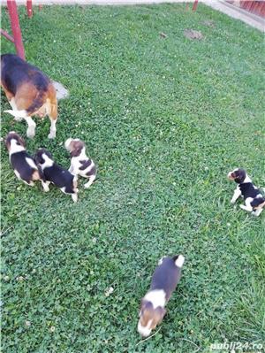 Vând căței Beagle, 2 luni, vaccinați și deparazitați  - imagine 6