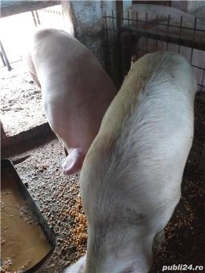 Porci de Craciun - imagine 3